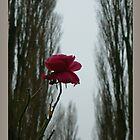 winter last rose by LisaBeth