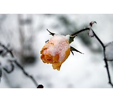 Snow Covered Rose Photographic Print
