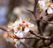 Wild Cherry Blossoms by Penny Odom