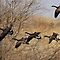 Canada Geese by Gregg Williams