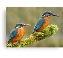 Mr & Mrs Kingfisher Canvas Print