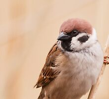 Tree Sparrow by Peter Stone
