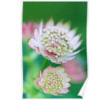Astrantia: a soft view Poster