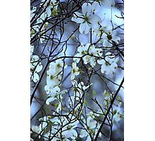 Dogwood ~ Florida, March 5th Photographic Print