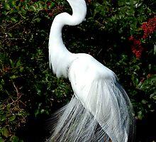 Great Egret in Breeding Plummage by Frank Bibbins