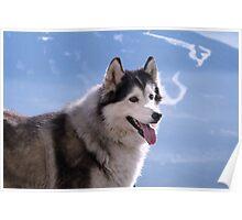 Husky dog Poster