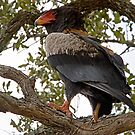 Bateleur Eagle by Michael  Moss