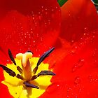 Red Tulip Flower macro Spring Raindrops wet Baslee Troutman by BasleeArtPrints