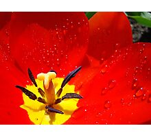 Red Tulip Flower macro Spring Raindrops wet Baslee Troutman Photographic Print