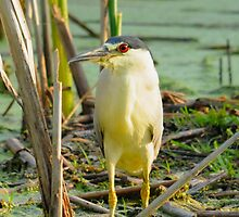 Black-crowned Night Heron by bozette