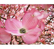 Tree Flowers Pink Dogwood Blossoms Spring Baslee Troutman Photographic Print
