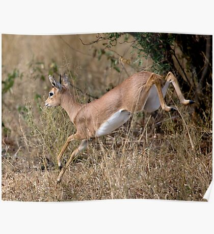 Steenbok On The Run Poster