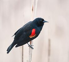 Red-Winged Blackbird by titus