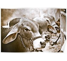 Hunchback Cows Poster