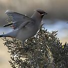 Waxwing Stretch by Ken McElroy