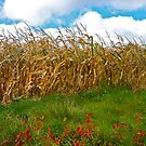 Cornfield by Ray4cam