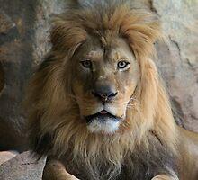 Lion Look by dmwarnman