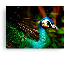 Peacock at Melbourne Zoo... Canvas Print