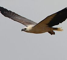 ''White-bellied Sea Eagle'' by bowenite