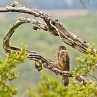 New Zealand Falcon by Kimball Chen