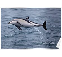 Acrobatic Dusky Dolphin Poster