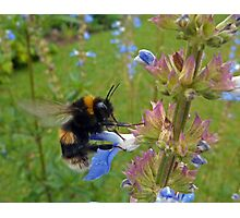Bumble in Blue Photographic Print