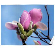Dew Kissed Magnolia in Blue Poster