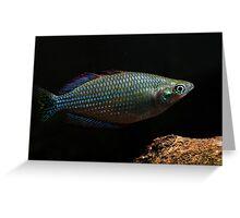 Melanotaenia inornata - Flat Rock Creek, Northern Territory Greeting Card