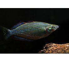 Melanotaenia inornata - Flat Rock Creek, Northern Territory Photographic Print
