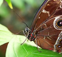 Morpho Up Close by Jo Nijenhuis