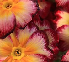Rainbow sherbet primroses. by bared