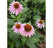 Echinacea purpurea - coneflower Photographic Print