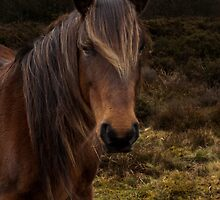 another Quantock pony by David Ford Honeybeez photo
