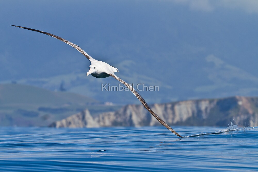 Wandering Albatross - New Zealand by Kimball Chen
