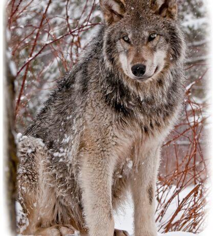 Wolf Shirt - 3 Sticker
