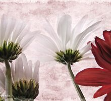 Red agains white by Olga