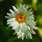 Daisy Droplets by Sally J Hunter