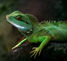 Little dragon 3 by steppeland
