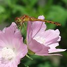Dragon On Mallow by Tracy Faught