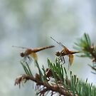 Dragonflies by Tracy Faught