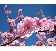 Spring Tree Pink Blossoms Blue Sky art prints Baslee Troutman Photographic Print
