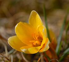 Crocus - Yellow by vbk70