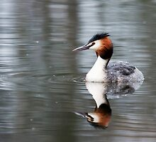 Great Crested Grebe by Peter Stone