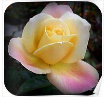 Rose in full bloom Poster