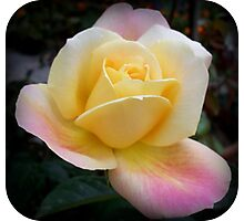 Rose in full bloom Photographic Print