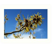 Witch-Hazel Art Print