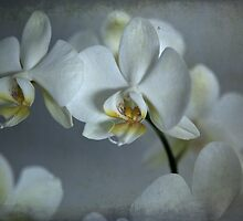 Orchid by Els Steutel