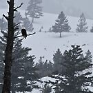 Bald Eagle's Vigil by Ken McElroy