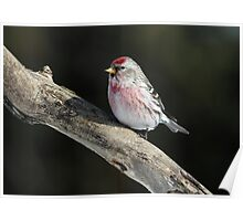 Common Redpoll Male  Poster
