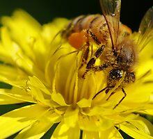A Working Bee by Noam Gordon